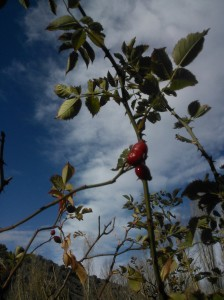 último fruto